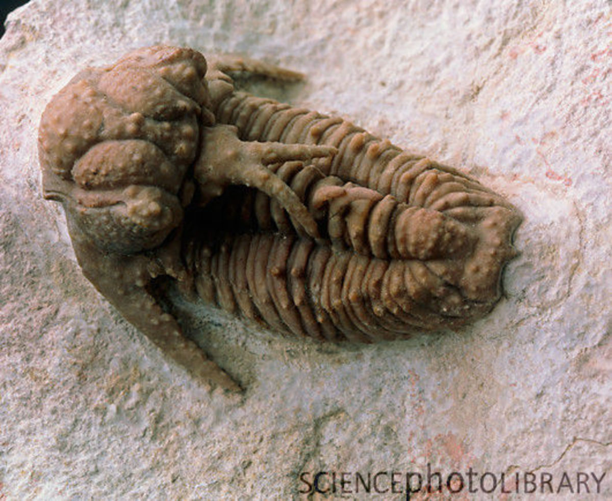 Trilobite of the species Lichas furcifer that went extinct during the Permian. Check out it's crazy head adornment!