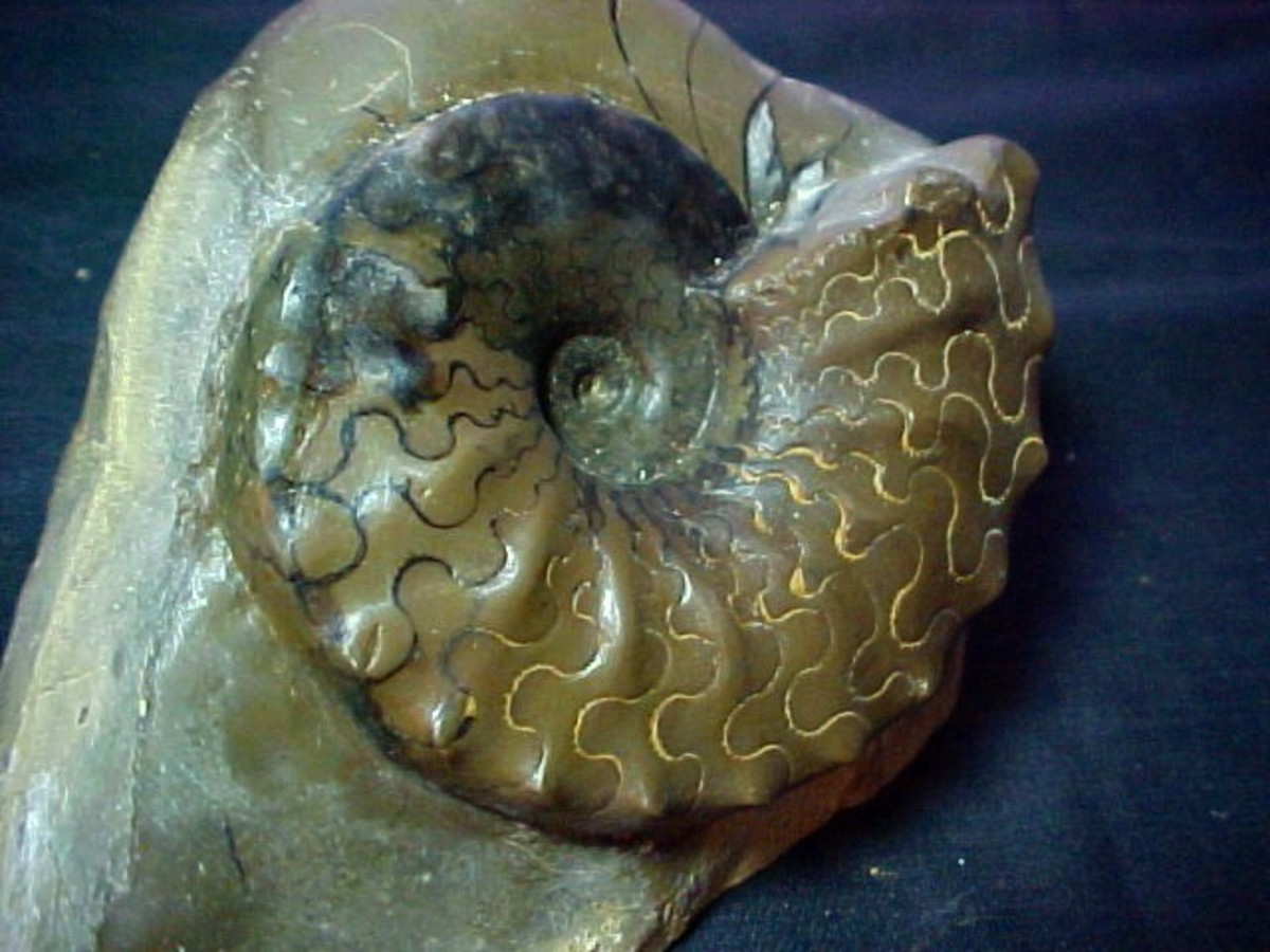 Triassic ammonite uncovered in Germany