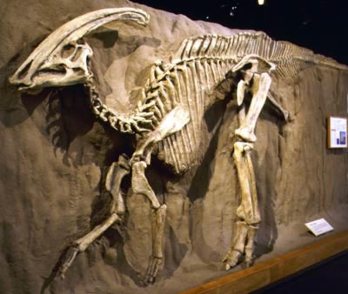 Parasaurolophus, one of the many dinosaurs to go extinct.