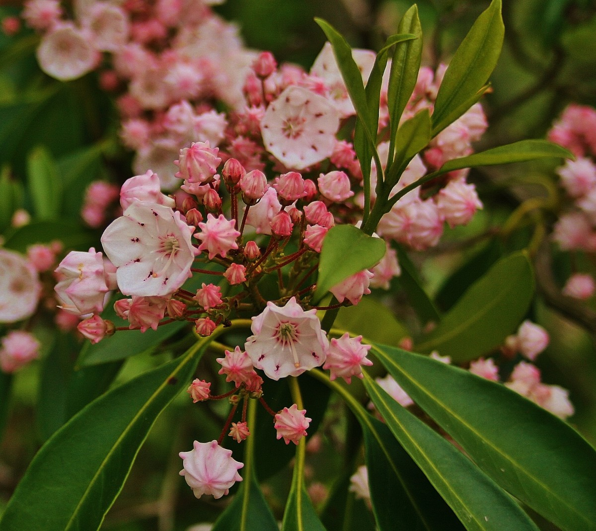 Mountain Laurel Flowers & Festivals 2017
