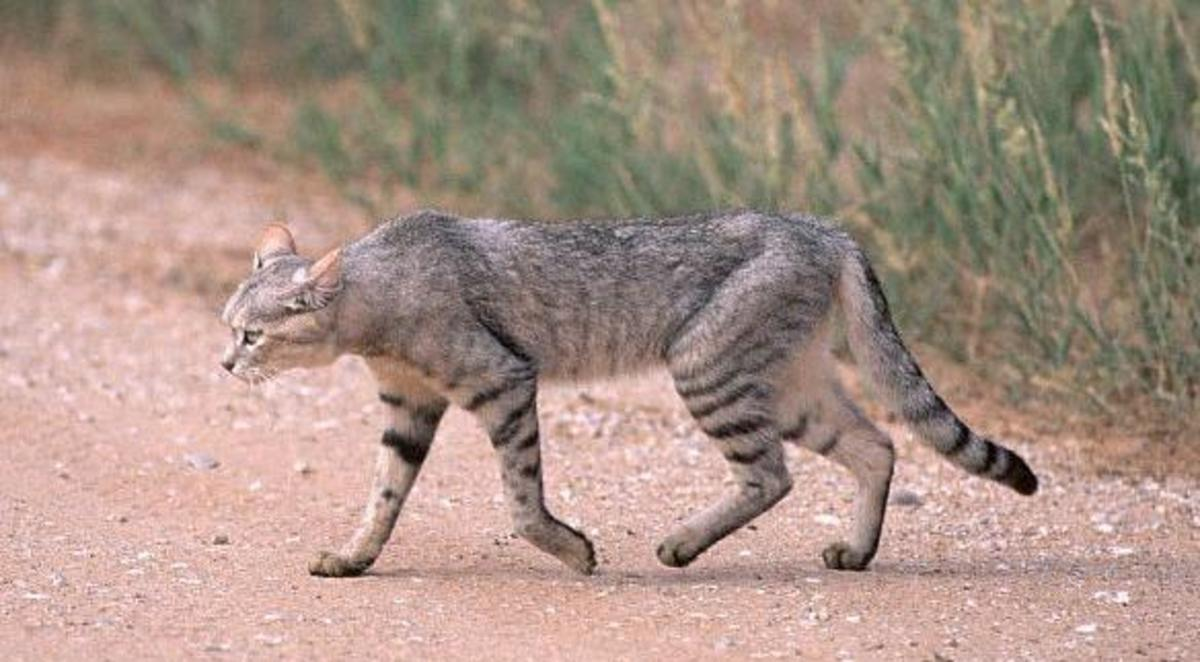 This is where the domestication stock came from the wildcats of Northern Africa.