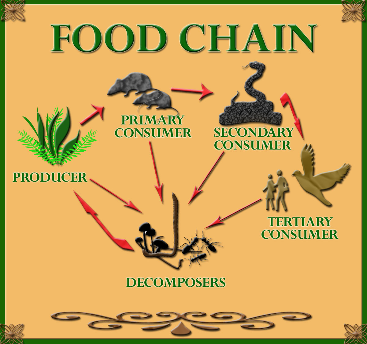 Three types of consumers are within the food chain; Primary consumers, Secondary consumers, and Tertiary consumers.