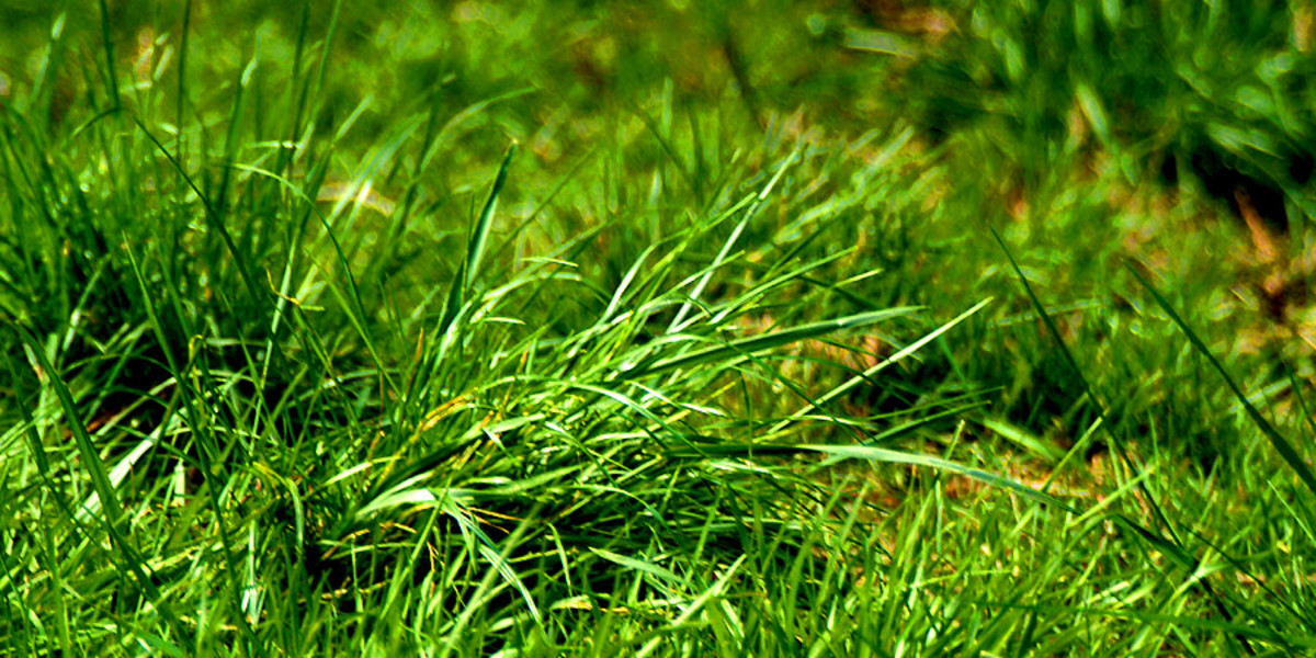 Grass is known as a producer in the food chain scheme. Providing a food source for those at the very bottom of the food chain.