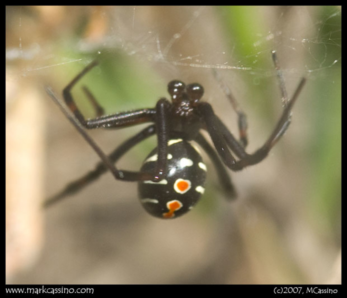 black-widow-spiders-found-in-north-dallas-texas