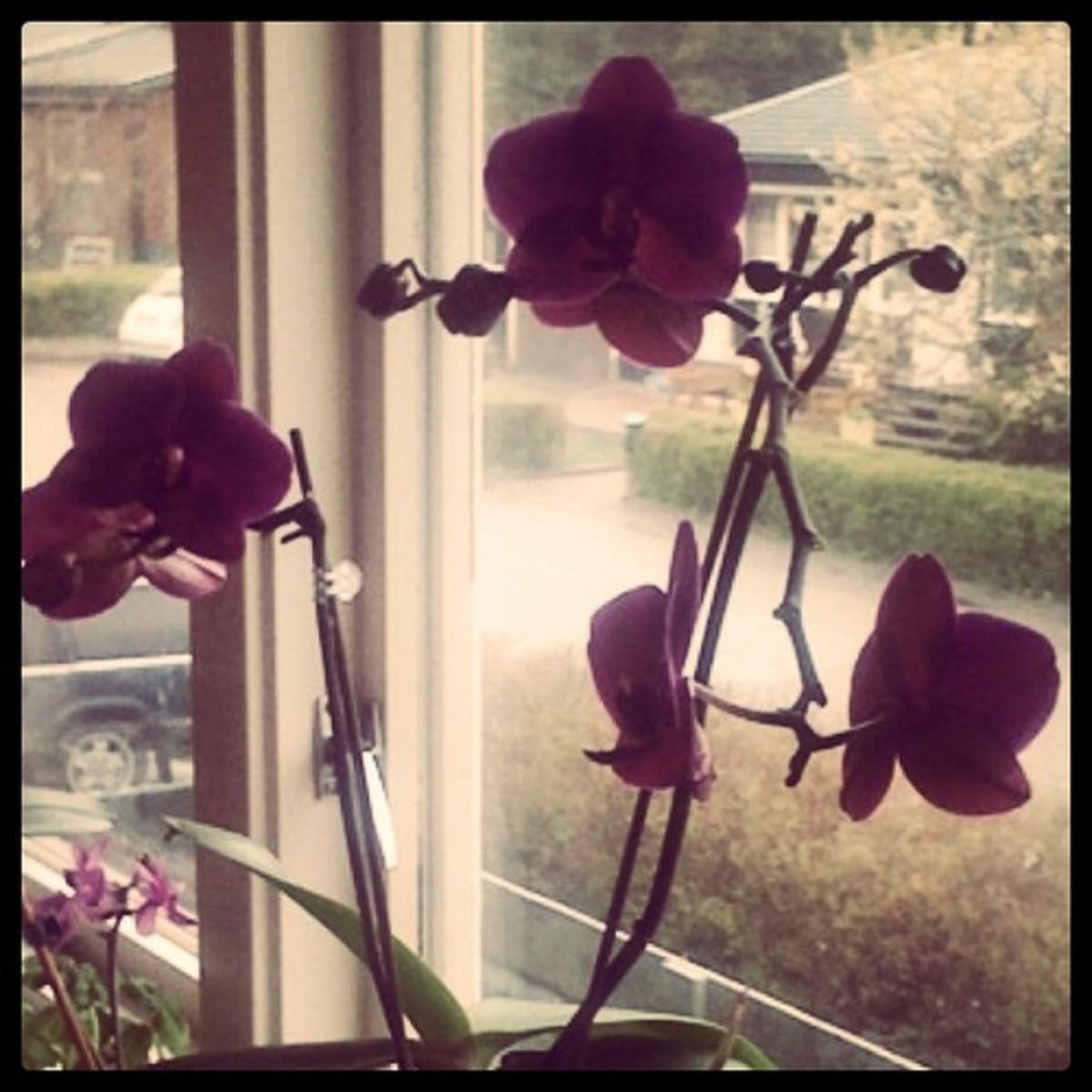 Orchids—kajsa (Flickr.com)
