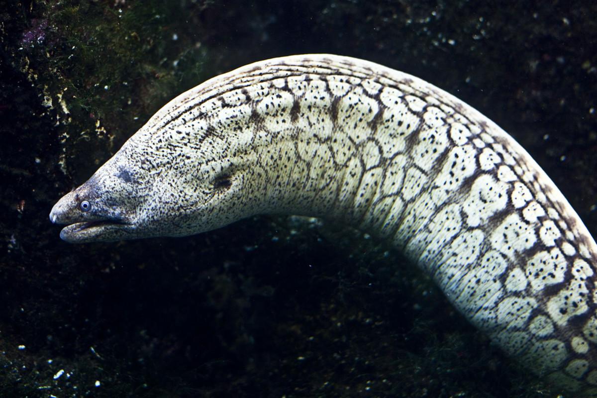 Muraena Moray Eel