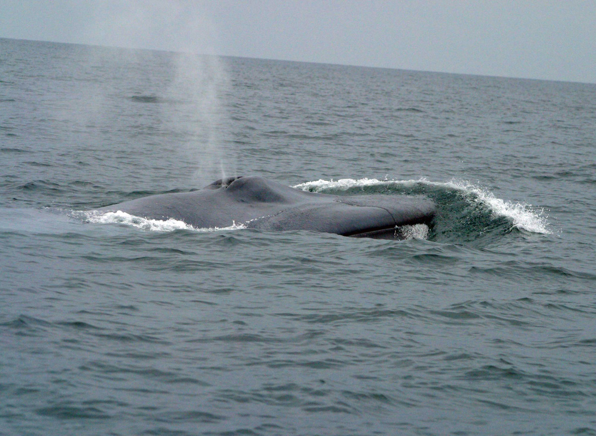 A Blow From The Blue Whale Blowhole.