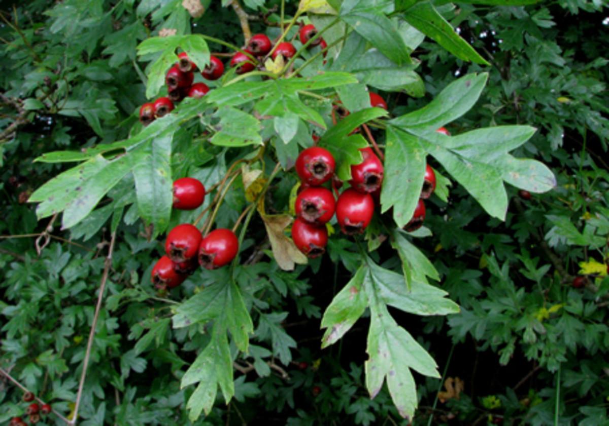 Hawthorn Berry Plant