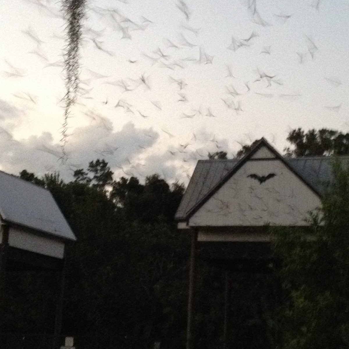 Bats emerging from the UF bat houses at sunset.  There was originally only one bat house, but due in part to overpopulation, it collapsed.  The original bat house was restored and another was built beside it.