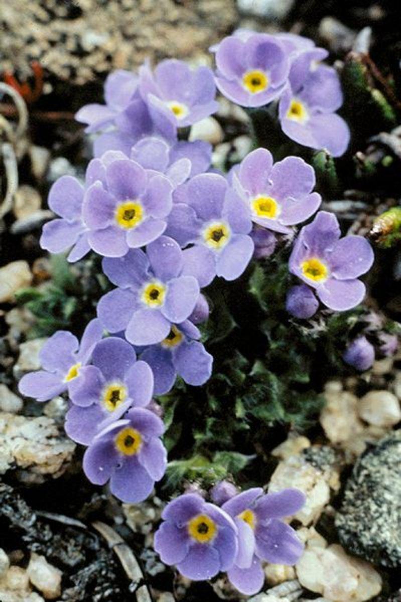 Myosotis alpestris. State Flower, Alaska, 1949.