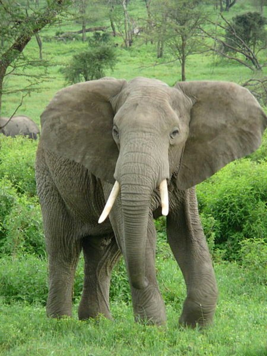 African Megafauna like the elephant may have survived where the fellows died out on account of them evolving alongside humans and thus being aware of their hunting capabilities.