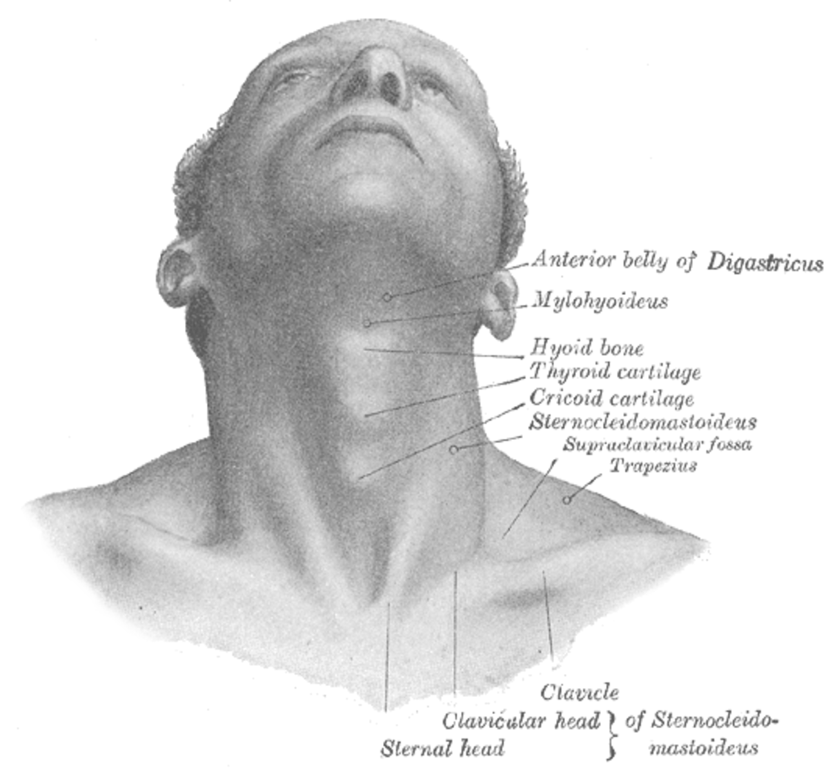 The hyoid sits quite high in the throat and acts as a connector between the tongue and throat.