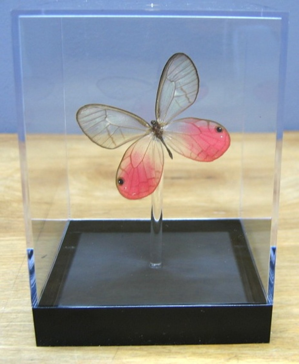 Available mounted from Butterfly Utopia.Com