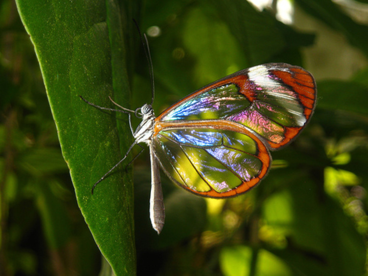 glasswing-butterfly-including-the-pink-glasswing-butterfly