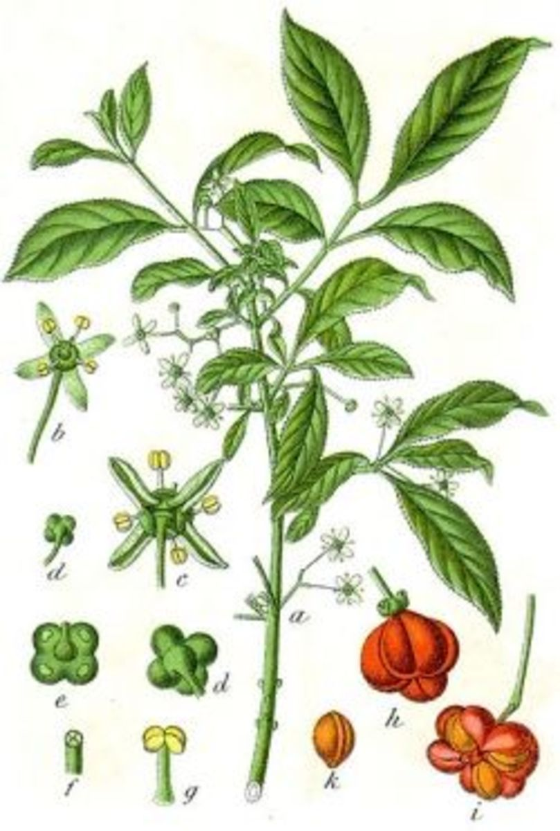 Euonymus europeaus painted by Jacob Sturm in 1796.