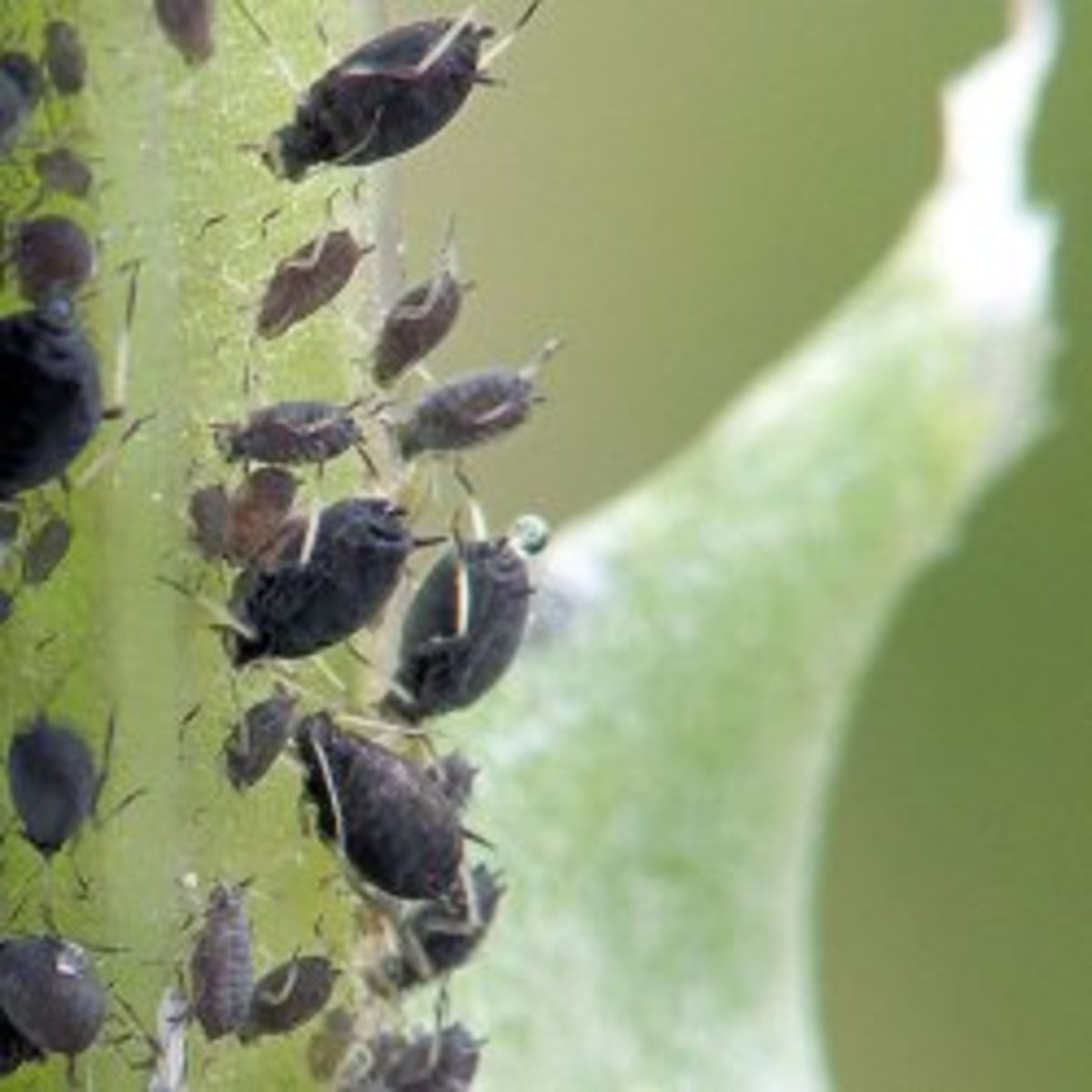 Biological control of the black bean aphid, Aphis fabae