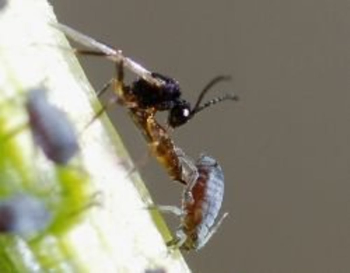 A braconid wasp laying an egg in an aphid
