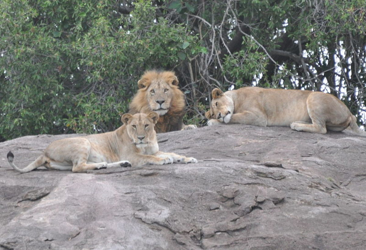 Two lionesses and their leader.