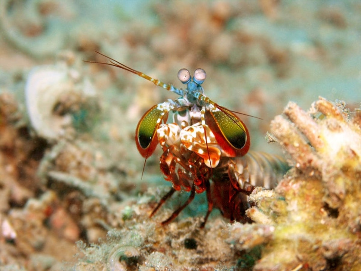 Picture of peacock mantis shrimp (Odontodactylus scyllarus).