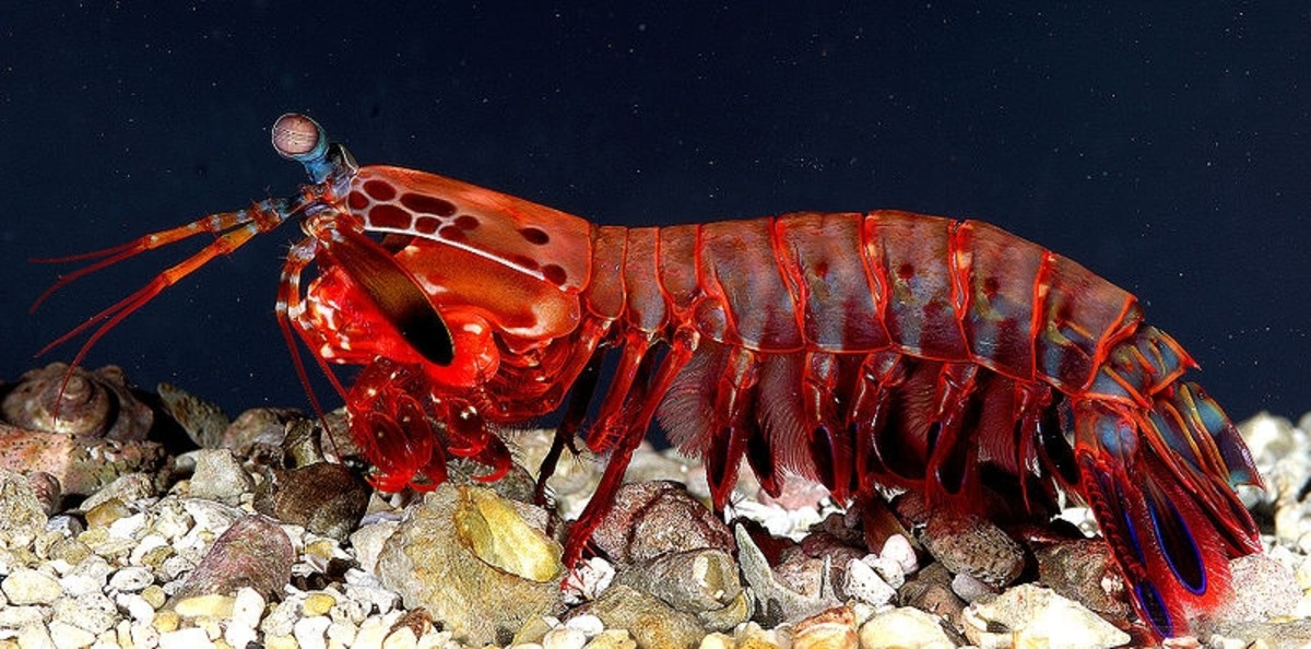 A female mantis shrimp.
