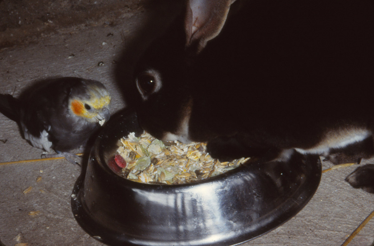 Your rabbit may not be the only one enjoying its food. Wild birds, mice and rats could be getting a share