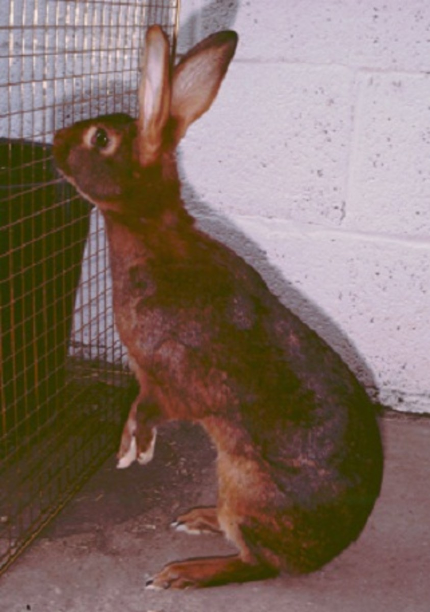 The Belgian hare should be lean and athletic looking
