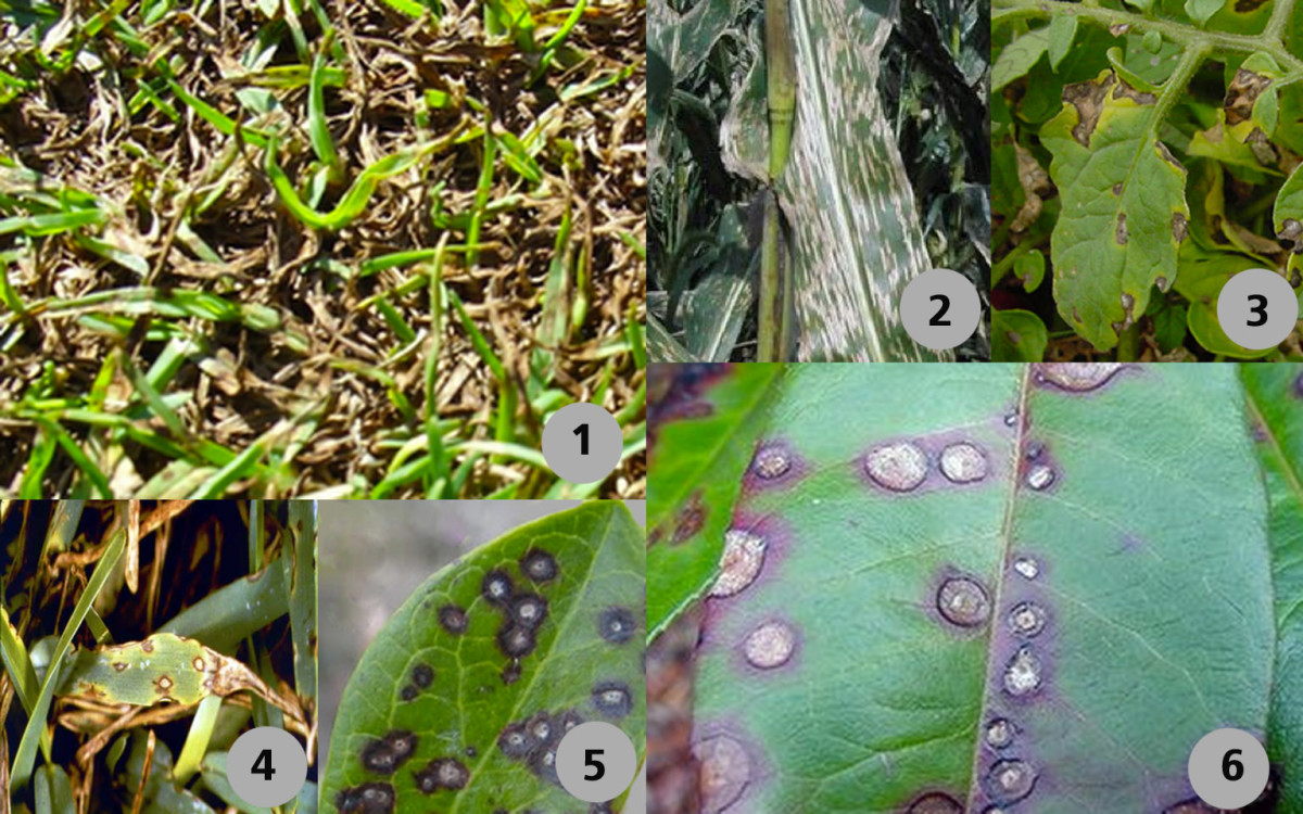 Plants with symptoms that may be called Gray Spot Leaf Fungus: (1) ryegrass, (2) corn, (3) tomato, (4) St. Augustinegrass, (5) blueberry and (6) photinia.