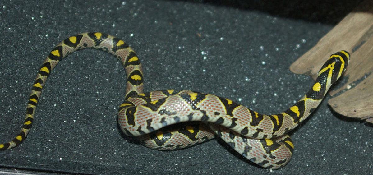 the-rat-snake