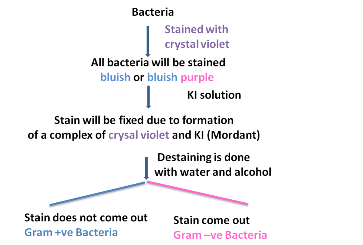 Gram Staining: Gram positive  and Gram negative bacteria