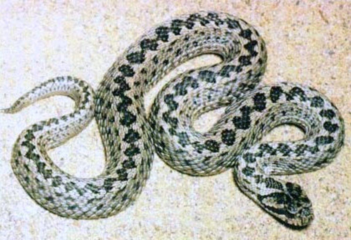 Blunt Nosed Viper Snake