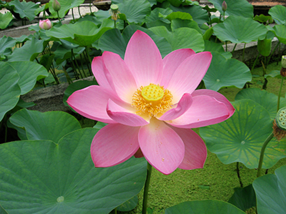 Praise the Jewel in the Lotus!