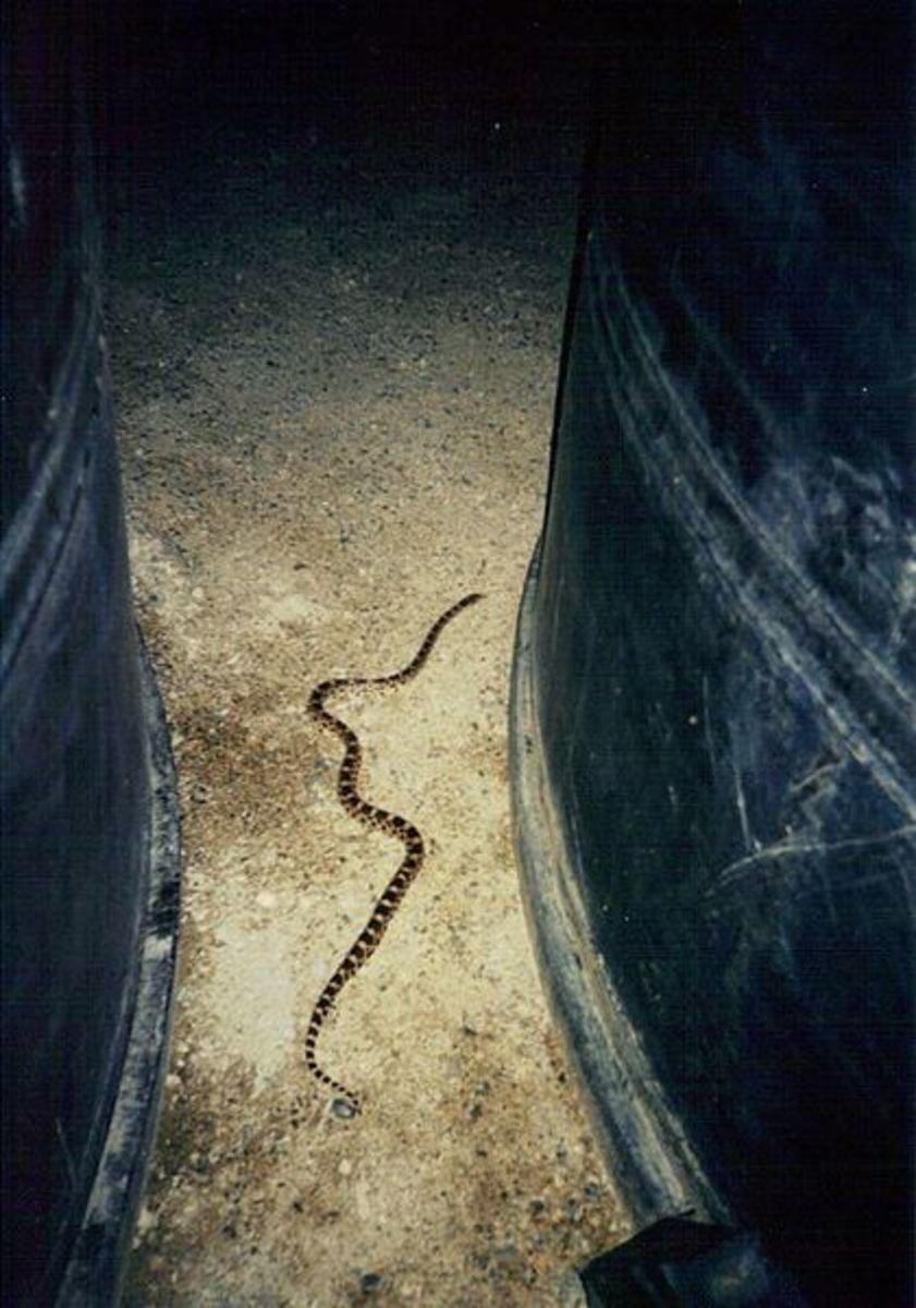 A large Bull Snake