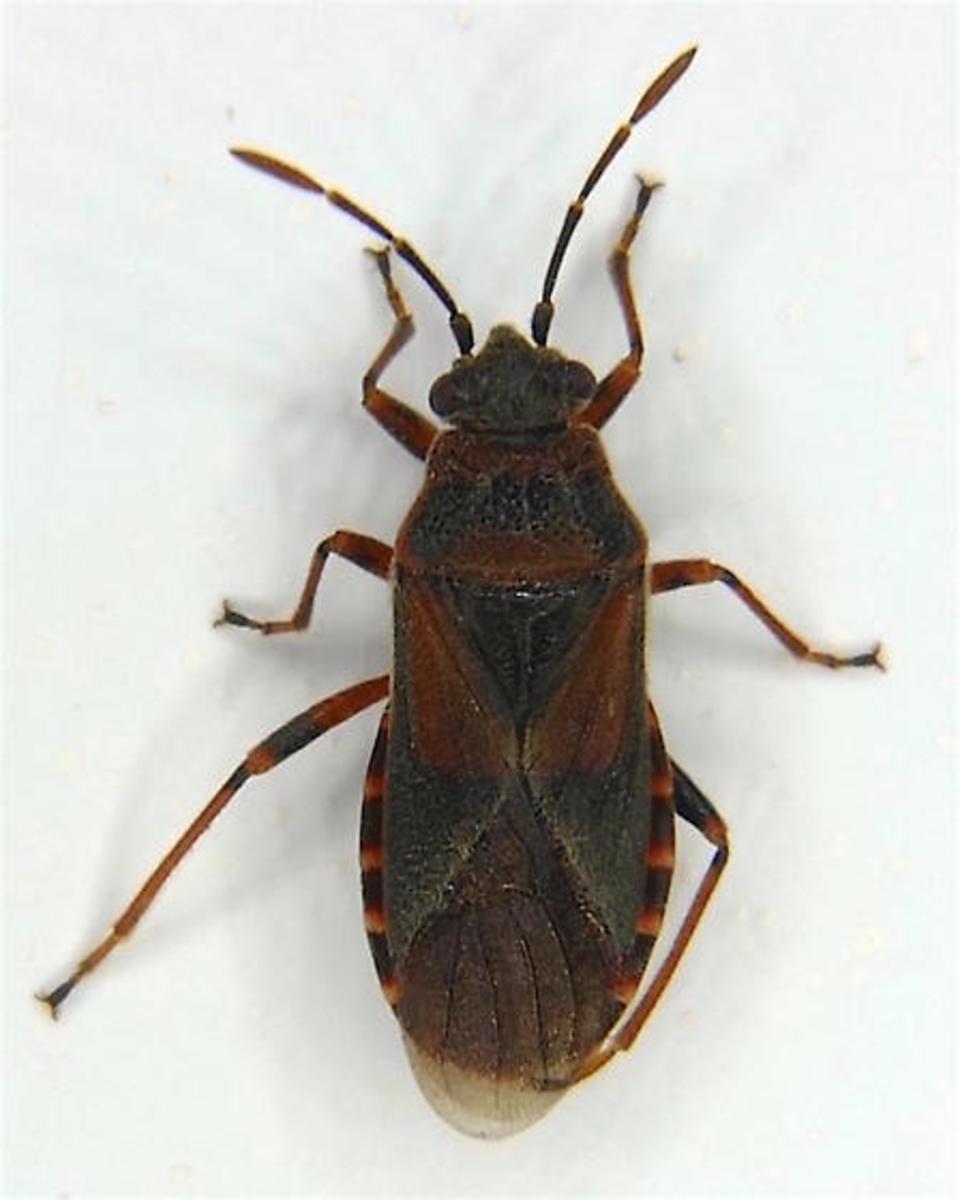 Adult Elm Seed Bug