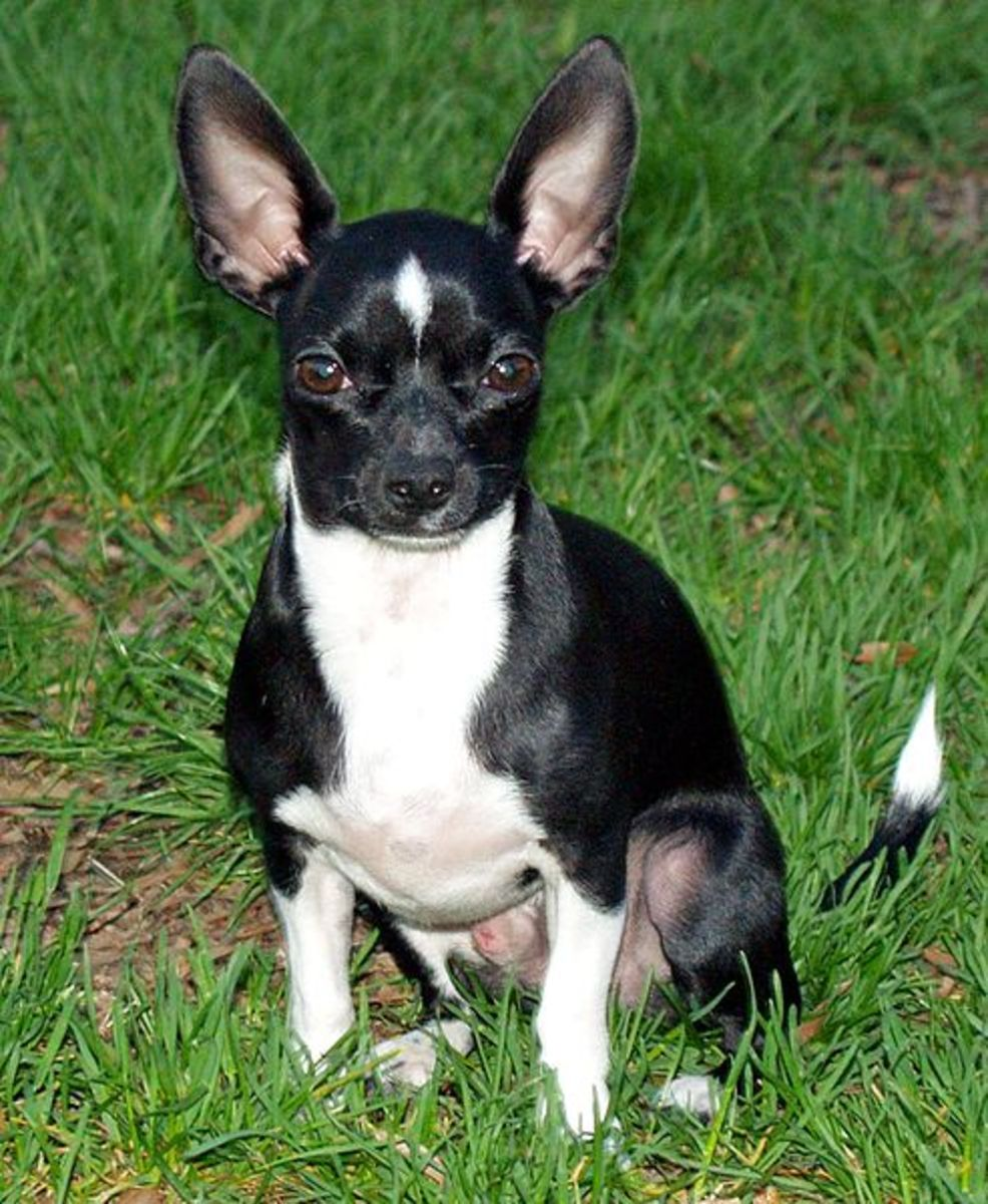 Chihuahua with black and white fur.