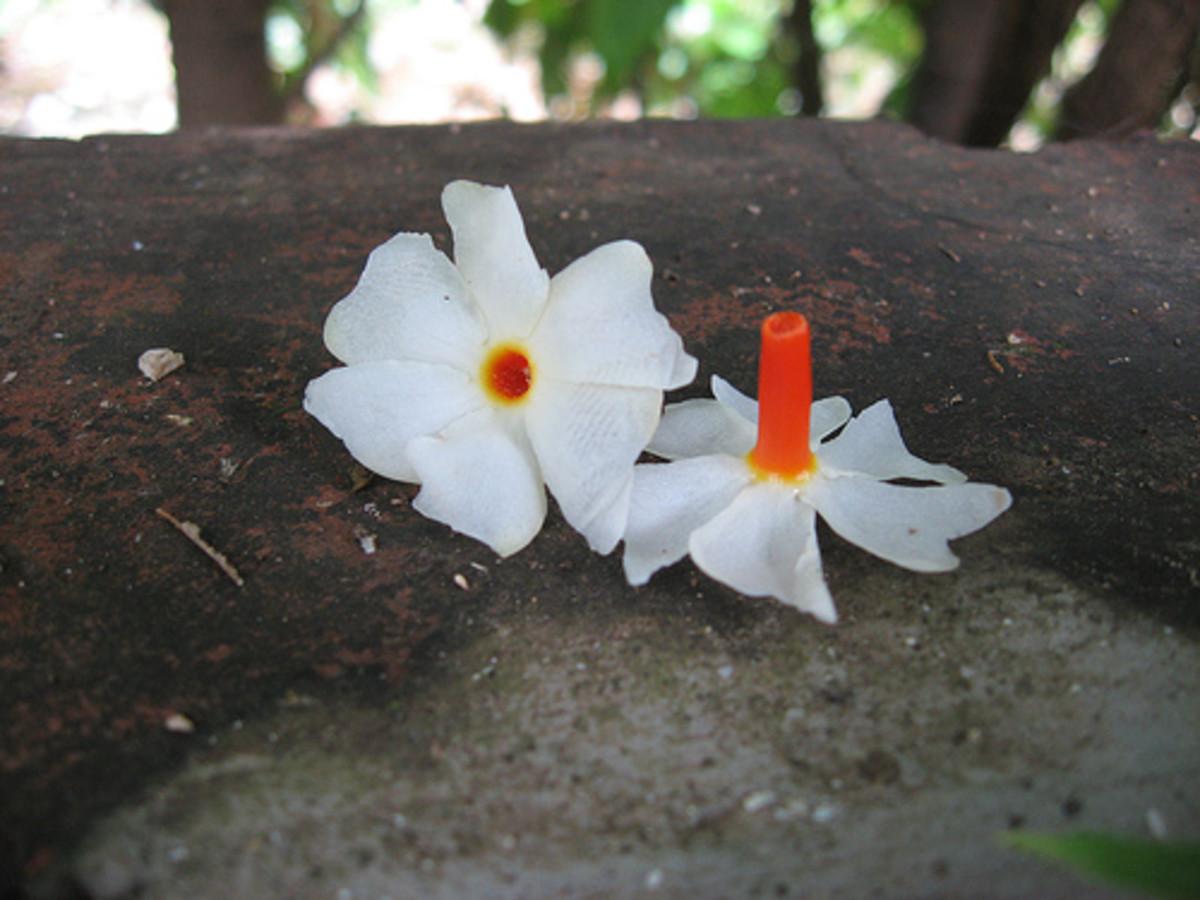 Parijata flower