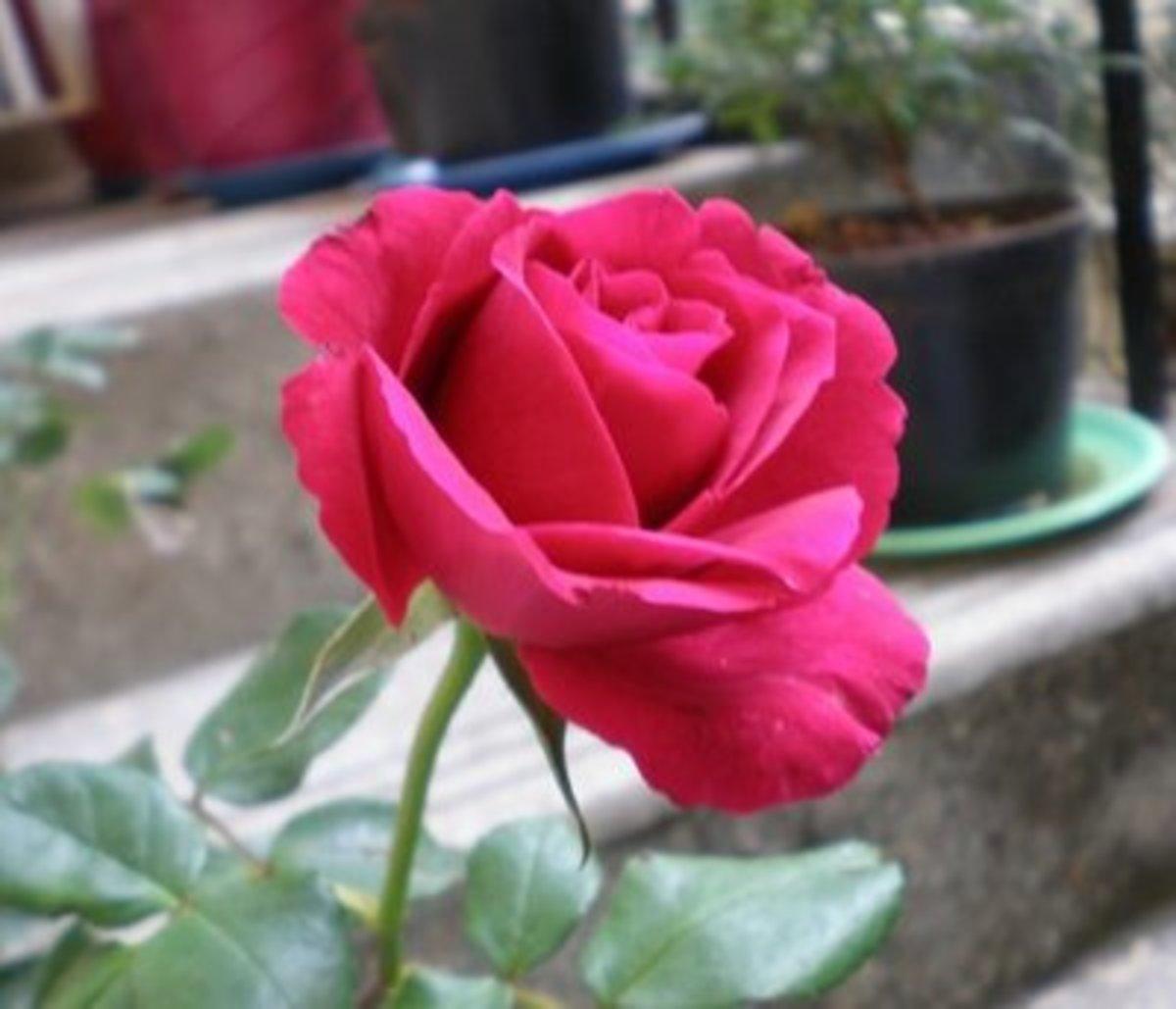 Rose flower in Kerala