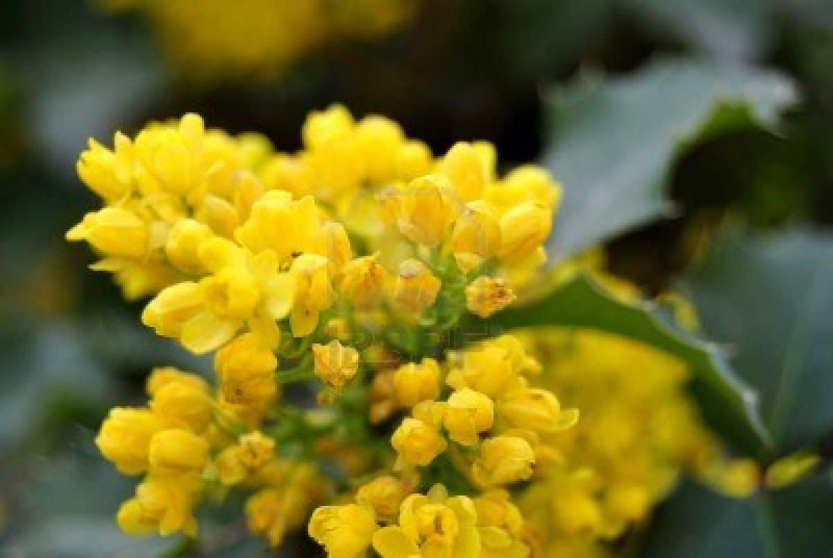 Fragrant yellow flower