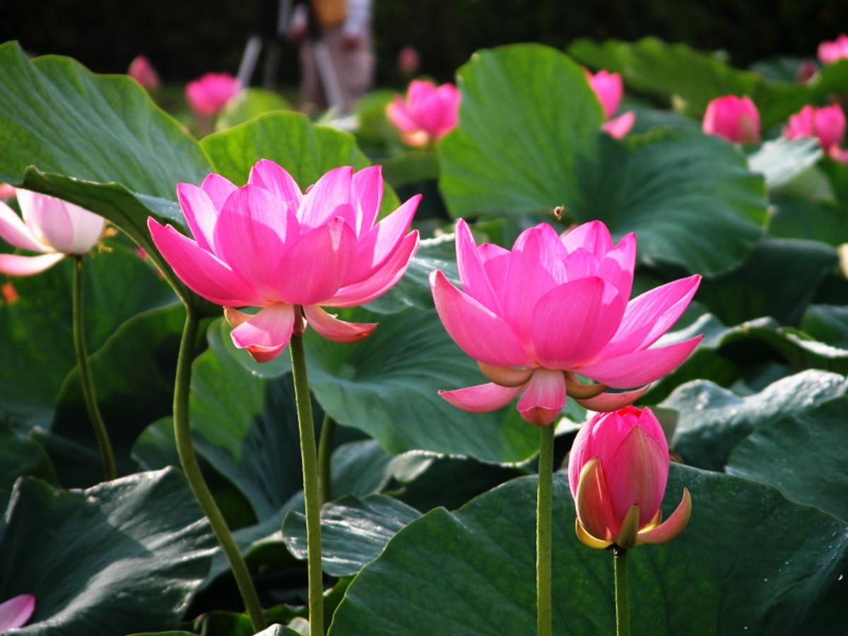 Lotus flower in India