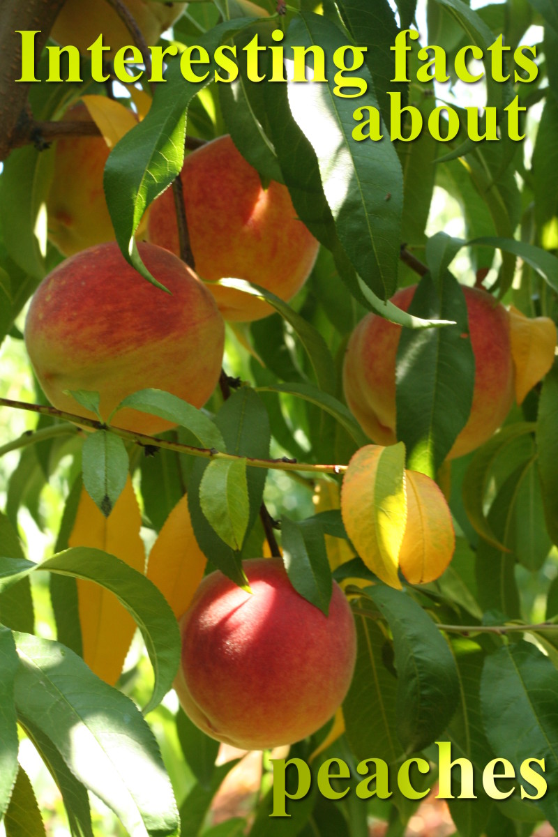 Peaches – 20 interesting facts that you possibly did not know about the peach