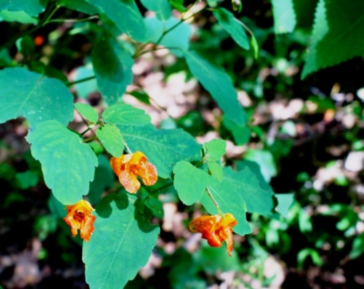 A close up of jewelweed.  This is in my yard.  Hummingbirds LOVE this stuff.
