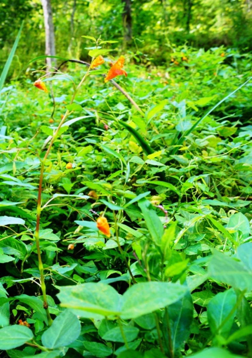 I have jewelweed growing like crazy in my yard.