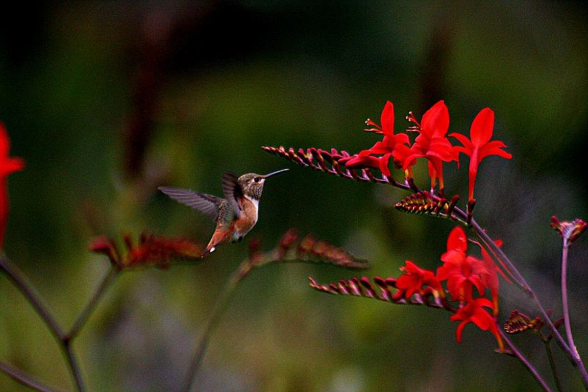 A hummingbird getting nectar out of a red crocosmia flower.