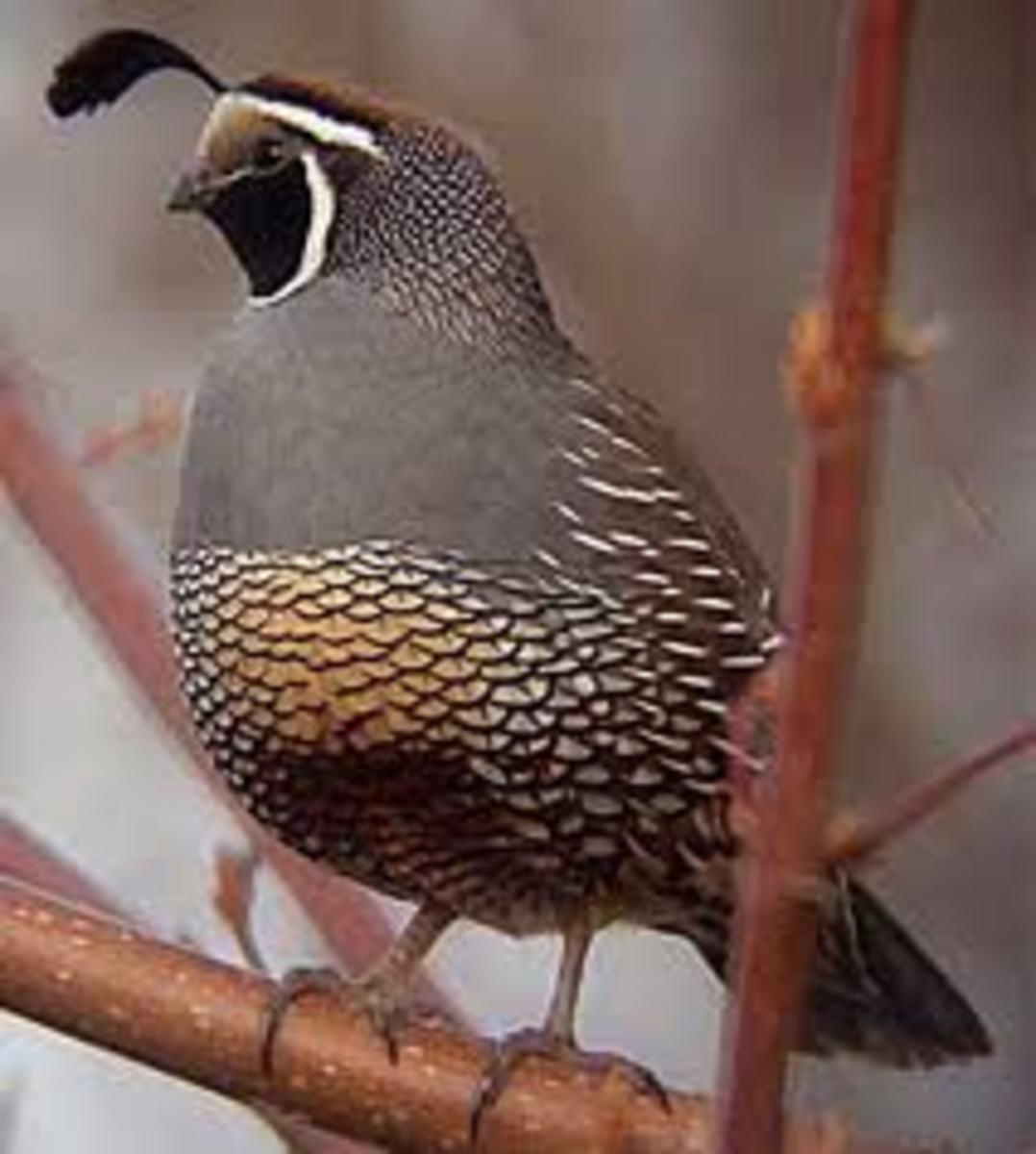 Californian Bird