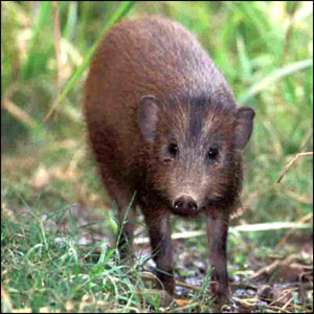 Pygmy Hog