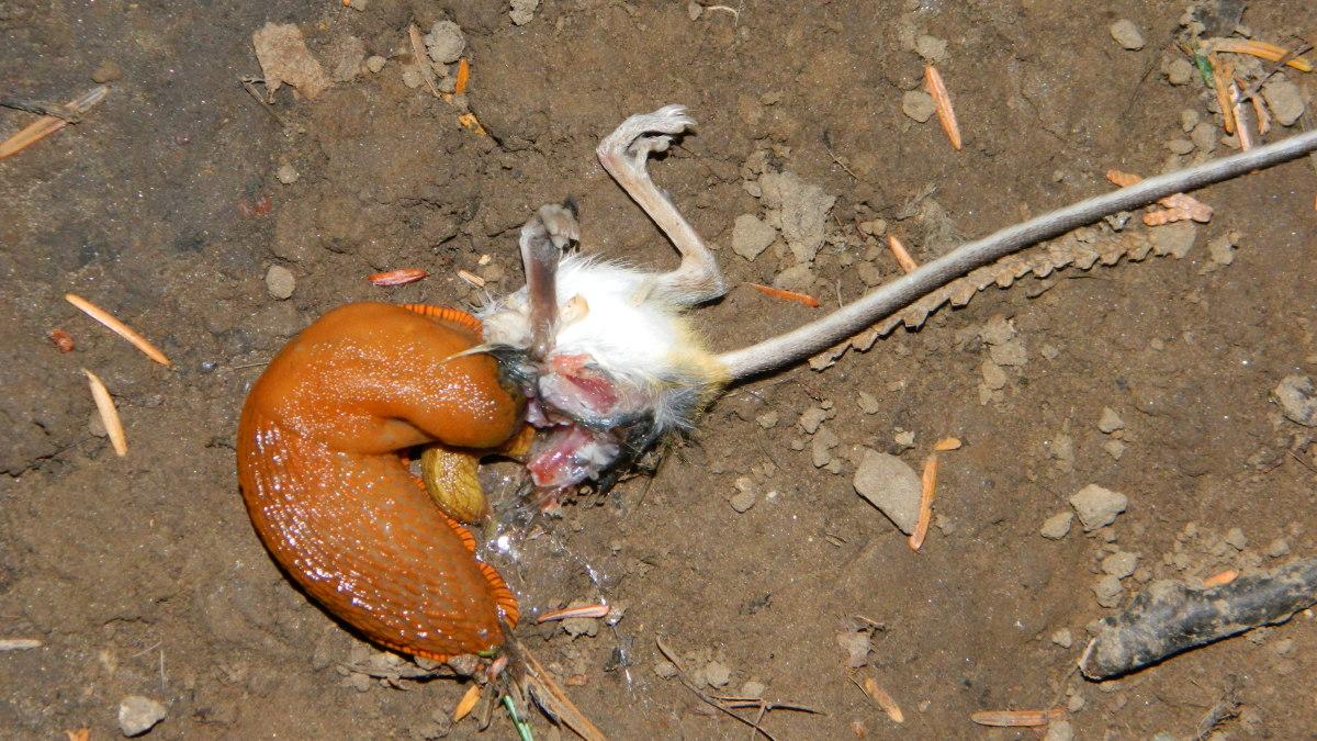 attack of the killer slugs in Oregon