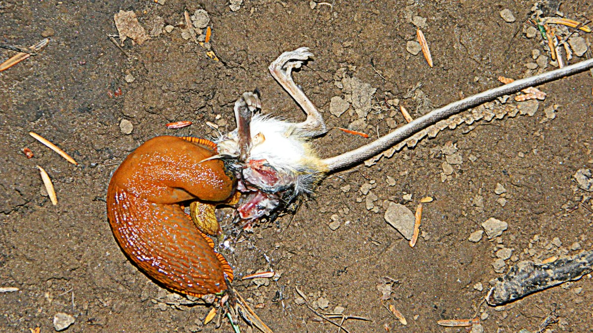 Killer Slugs eating a fresh dead mouse.  No vegan creature these slugs...not vegitarians...proof they are not vegitarians anymore!