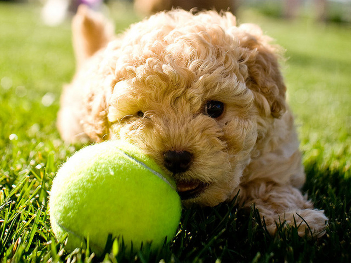 This is the correct proportion of dog to tennis ball.  Use this as a guide when you buy your dog's tennis ball.