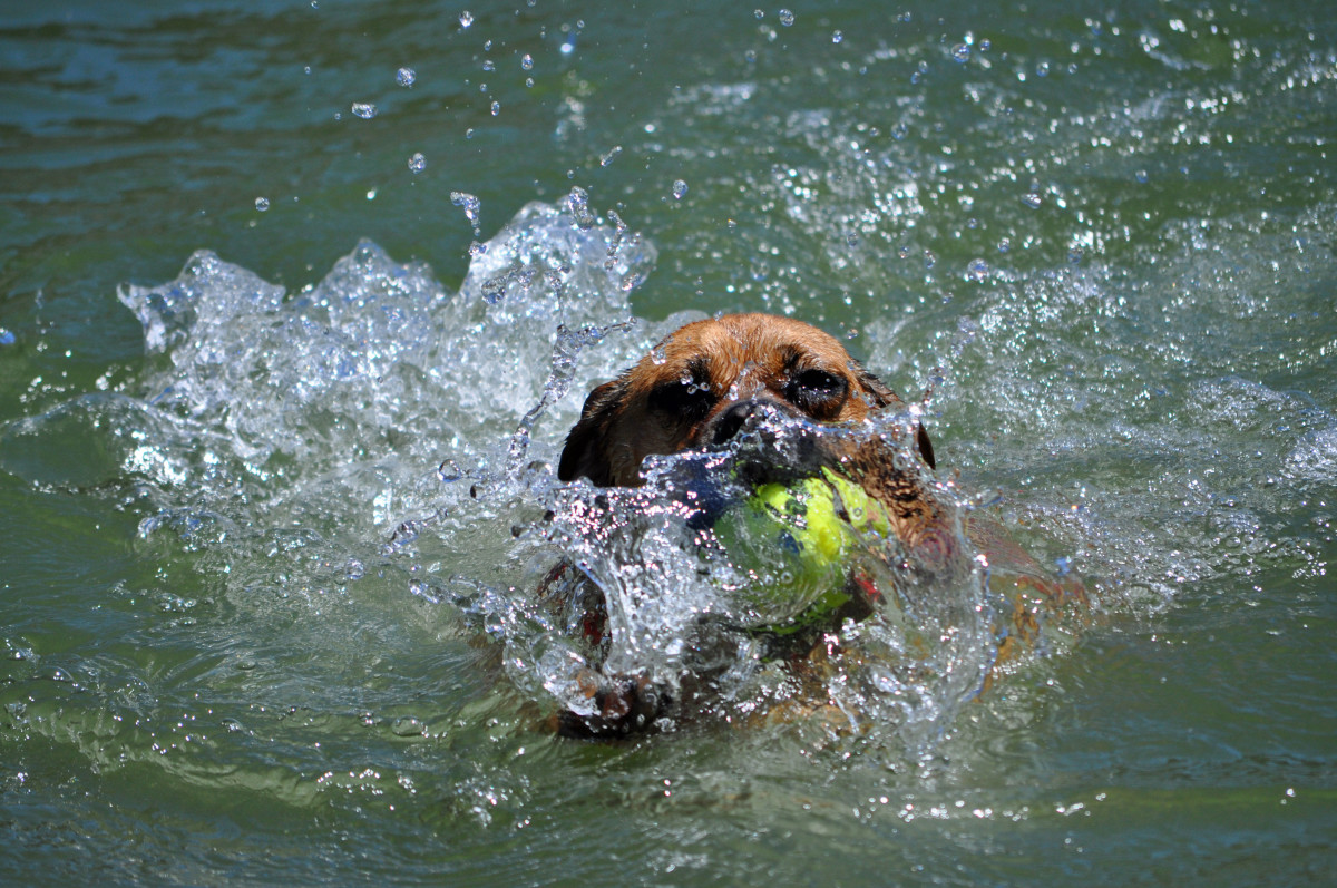 Don't tell my daughter's little puggle Molly she can't have her tennis balls!