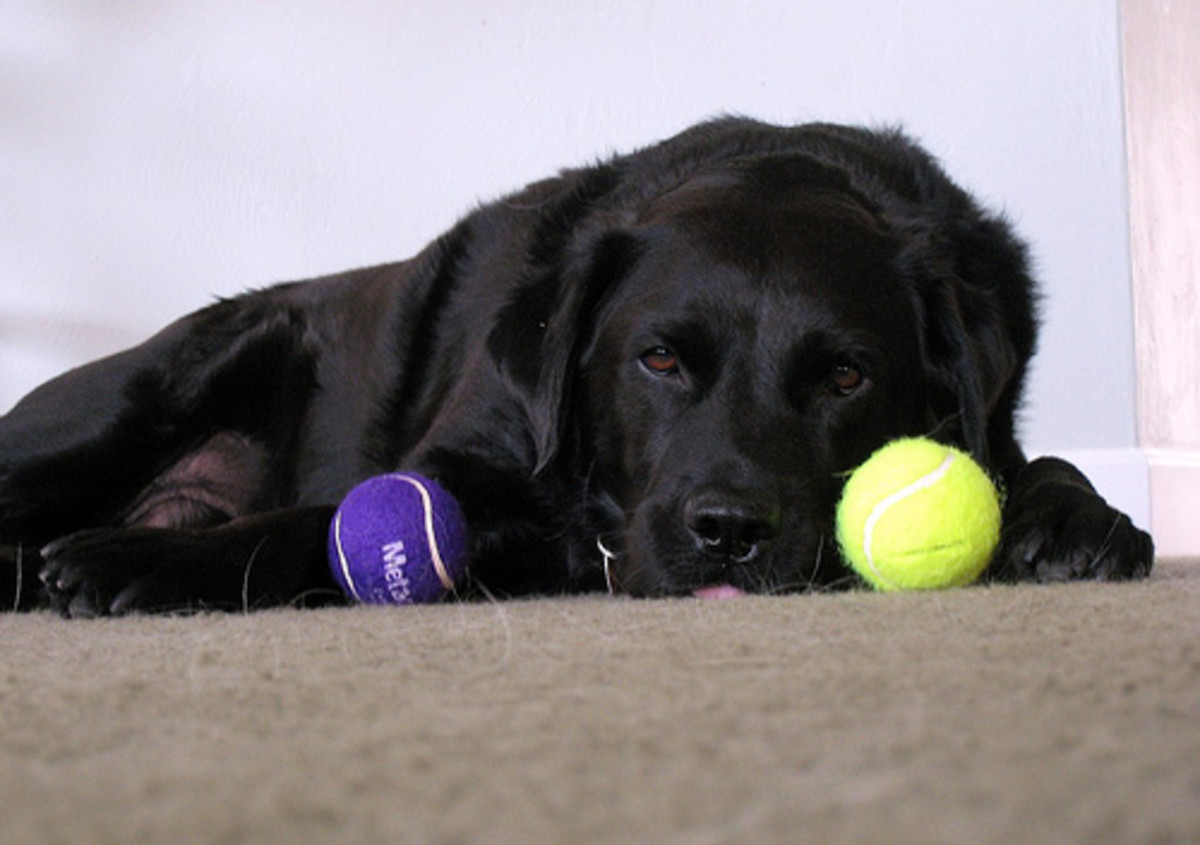Some dogs can't seem to live without their tennis balls.