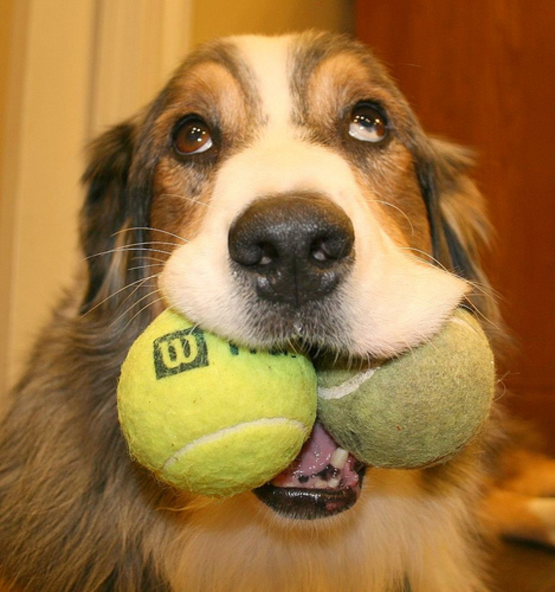 Even though it's so cute, don't train your dog to put 2 tennis balls in his mouth.